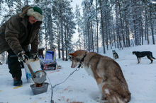 A man feeds his sled dogs