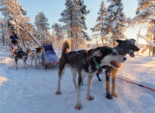 Sled dogs barking in the snowy forest