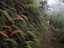 Ferns along Pico Duarte trail