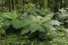 Whirnaki Forest Park, ferns, giant, tree