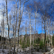 Whiteface Mt,Whiteface Mt ski area,Whiteface,white birch,forest,trees,Whiteface Mt white birch forest,Wilmington,November,2017