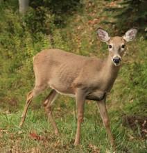 Whitetail Deer near Blue Mountain Lake