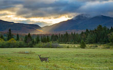 whitetail deer,deer,Adirondack Loj Rd,meadow,sunbeam,
