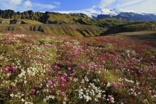 Thorsmork wildflowers