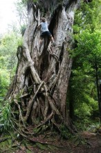 tree climbing, old, ancient, Rata tree, New Zealand