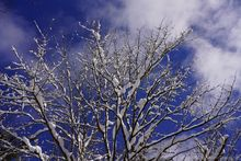 blue sky,maple tree,winter,blue and white,clouds,maple,2020,