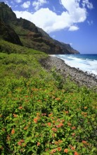 wildflowers, flowers, Kalalau Beach, Kalalau Trail, Na Pali, coast, coastline, cliffs