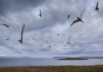 Arctic Terns circling overhead