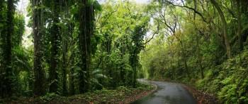 Tree tunnel over a rural Hawaiian road
