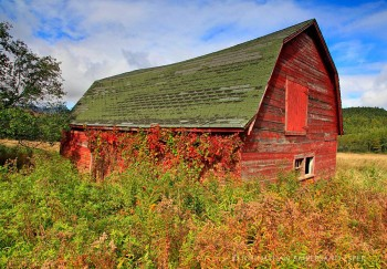 Keene Valley old barn covered in red ivy