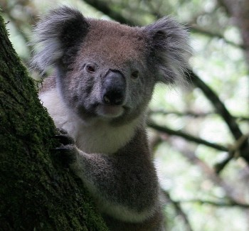 Koala bear in the wild, Victoria