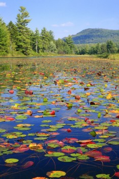 Little Tupper Lake Outlet Lily Pads