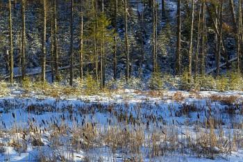 Pines near Moody Falls, Raquette River