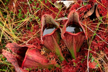 Pitcher Plants in a bog with trapped fly
