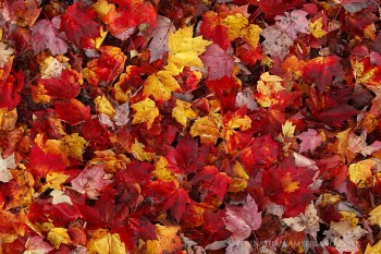 Raquette River area fallen maple leaves
