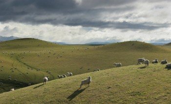 Sheep Pastures in central North Island