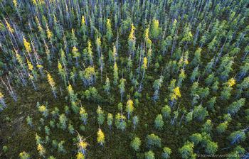 Silver Lake Bog pines lit by last sunlight, from the air