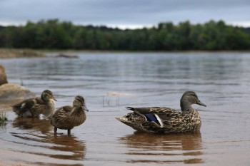 Mallard Ducks on Stillwater Reservoir