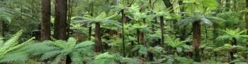 Whirinaki Forest Park Giant Tree Ferns