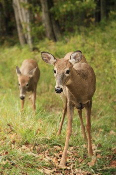 Whitetail Deer near Blue Mountain Lake
