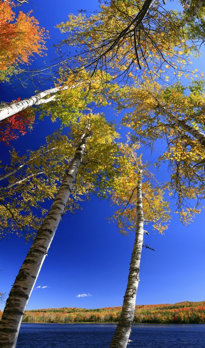 Thirteenth Lake, 13th Lake,North Creek,white birches,birches,vertical panorama,vertical,Thirteenth Lake white birches,Go, photo