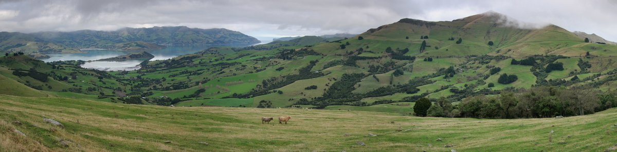 Banks Peninsula,Akaroa,Akaroa Harbour,South Island,New Zealand,cattle,farming,pasture,pastures,panoramic,view,up high,on, photo