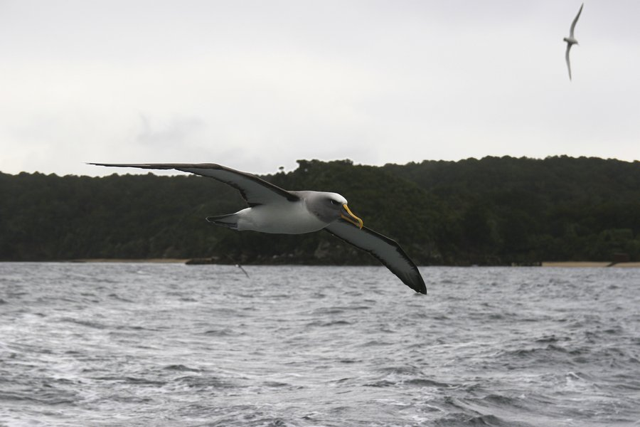 Diomedea bulleri,Buller's Mollymauk,albatross,Stewart Island,birds,birdlife,birding,ocean,coastal,waters,New Zealand, photo