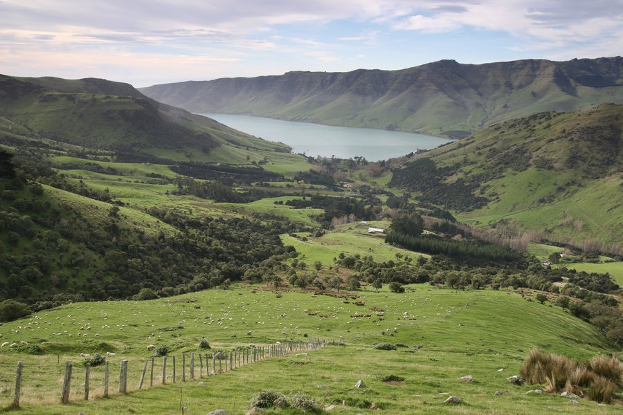 Banks Peninsula,South Island,New Zealand,sheep,pasture,field,farm,grazing,livestock,rural,scene,farmland,bay,green,grass, photo