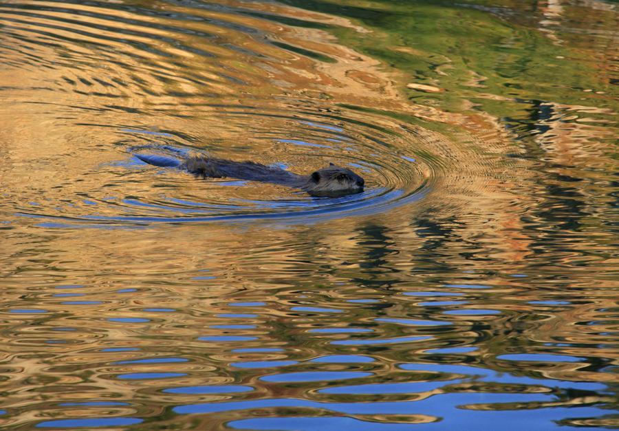 Beaver in an alpine lake in Grand Teton National Park