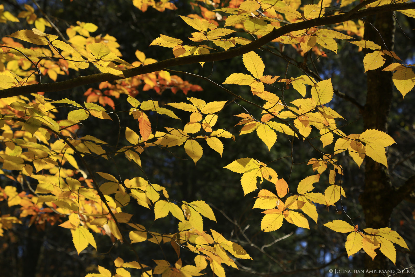 Schroon River,Schroon River property,beech,beech leaves,autumn,2015,Adirondack photography,Adirondack,beech tree,Adirondack Park,fall,foliage,yellow leaves,yellow,, photo