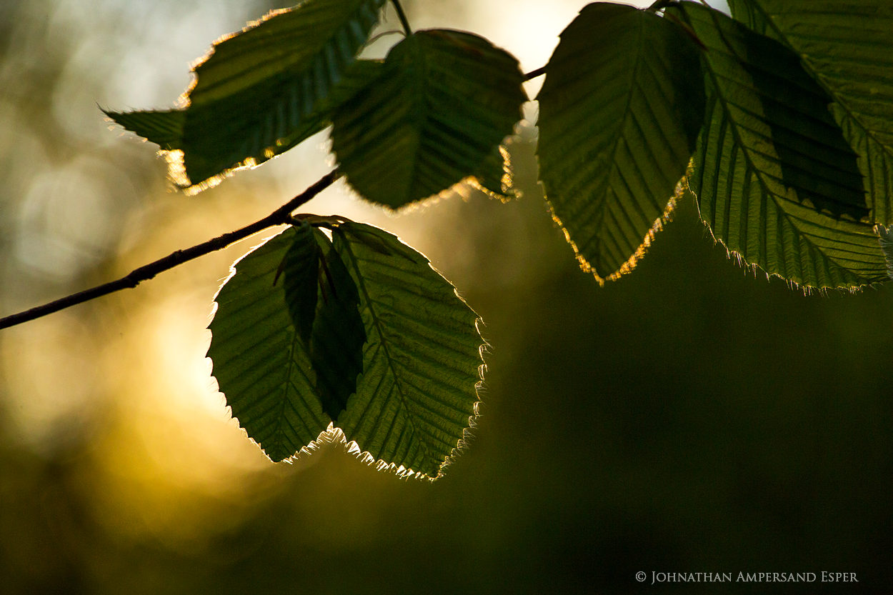 Buck Mt forest,Buck Mt,beech leaves,beech,beech forest,sun,sillouette,spring,spring leaves,Adirondack,Adirondack forest,Lake George Wild Forest,, photo