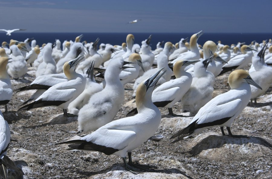 Morus serrator,Australasian Gannet,colony,bird,birds,wildlife,New Zealand,Napier,North Island,Cape Kidnappers, photo