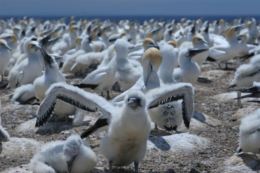 gannet, chick, bird, australasian, Cape Kidnappers, Napier, photo