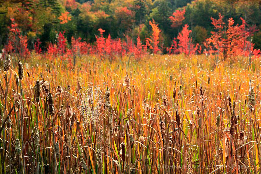 cattails,cattail,dew,laced,dew-laced,spider web,Tupper Lake Rd,fall,bog,wetland,spiderweb,, photo