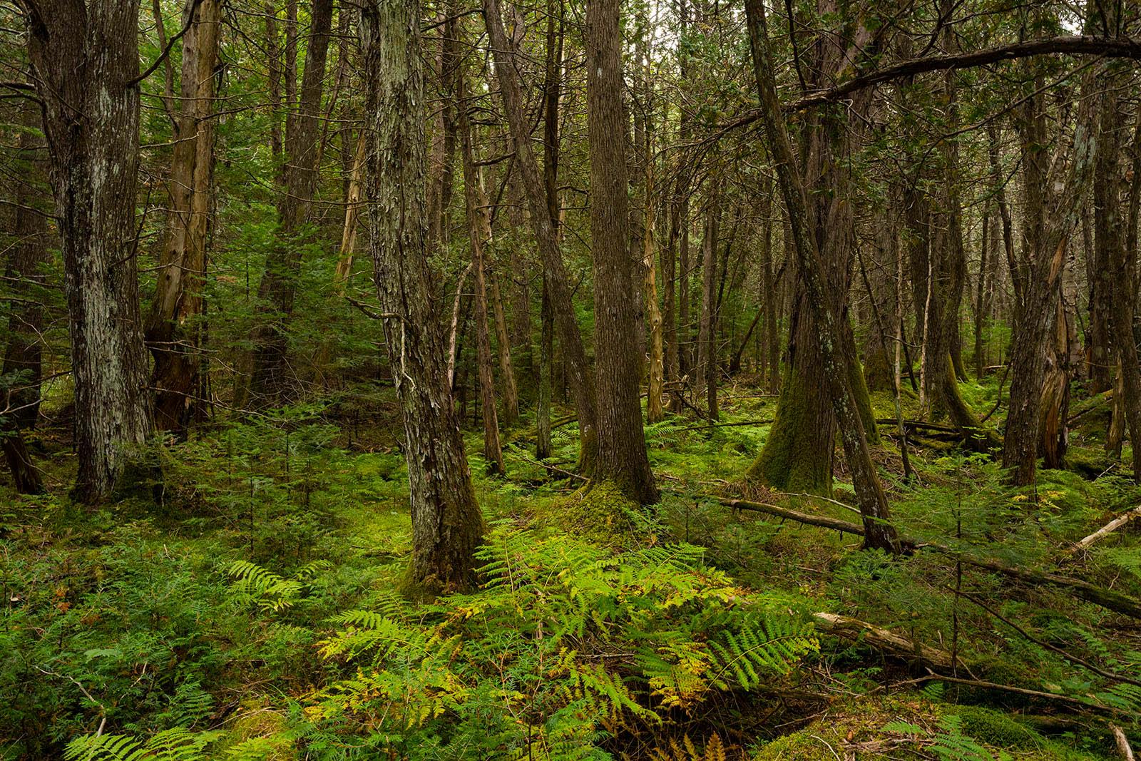 Vanderwhacker Wild Forest,Wolf Pond,cedar forest,cedar,cedar trees,cedars,trees,forest,bushwack,off trail,summer,2020,magical...