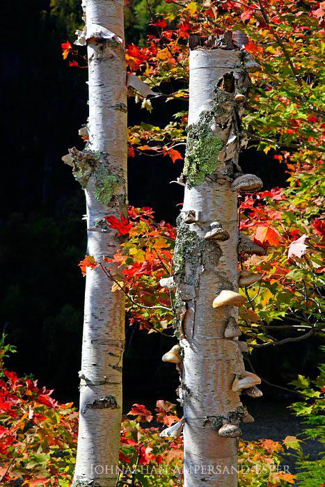 Chapel Pond,white birch,stump,mushrooms,dead,fall,2011,Chapel Pond white birch stump,autumn,black,Johnathan Esper,Adirondack Park,Adirondacks, photo