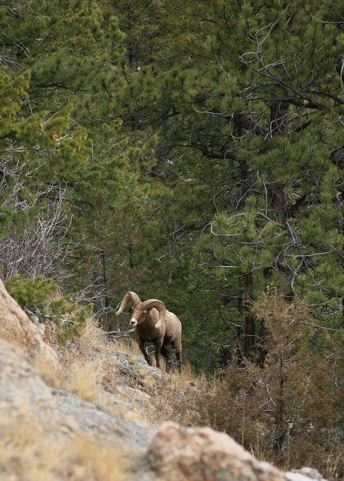 Colorado, Bighorn Sheep, photo
