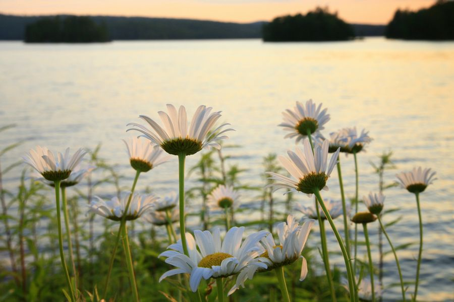 wild, daisies, flowers, wildflowers, Adirondack, Adirondack Park, Tupper Lake, photo