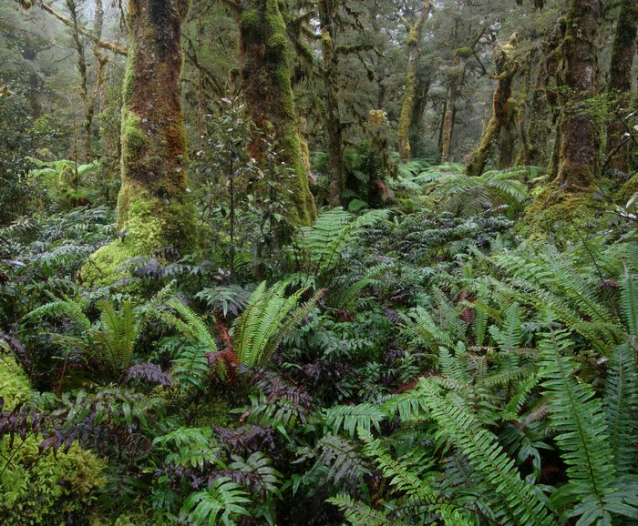 temperate, rainforest, fiordland national park, New Zealand, Dusky Track, lush, ferns, forest, photo