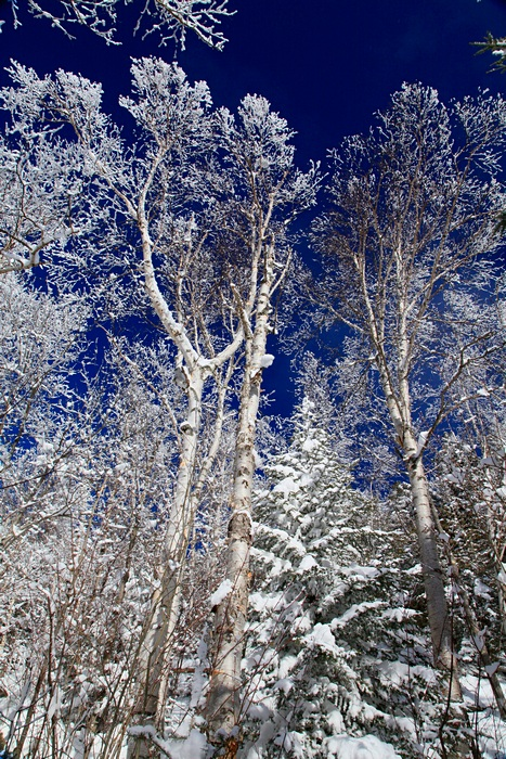 frosted,white birch,birches,white,blue,sky,vertical,forest,Mt Jo,winter, photo