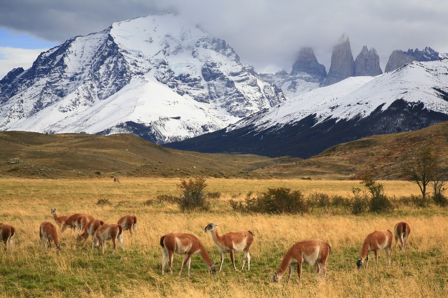 guanaco, herd, guanacos, Torres del Paine, National Park, Patagonia, Chile, grazing, photo