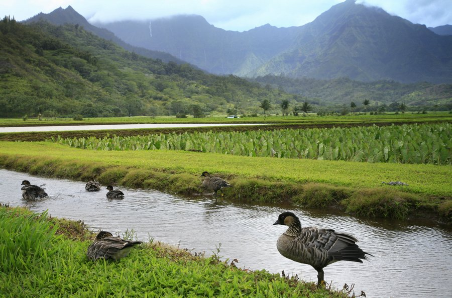 Nene, geese, taro, fields, Hanalei Valley, photo