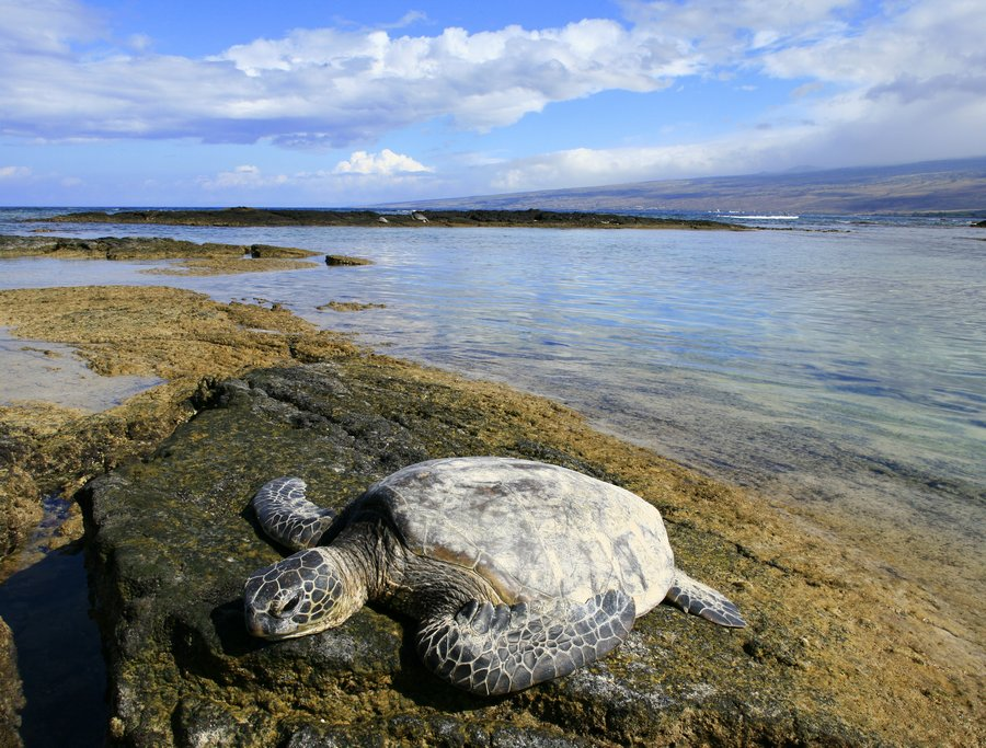 sea turtle, green sea turtle, Hawaii, endangered, marine, animals, basking, sun, Puako, beach, coast, Big Island, photo