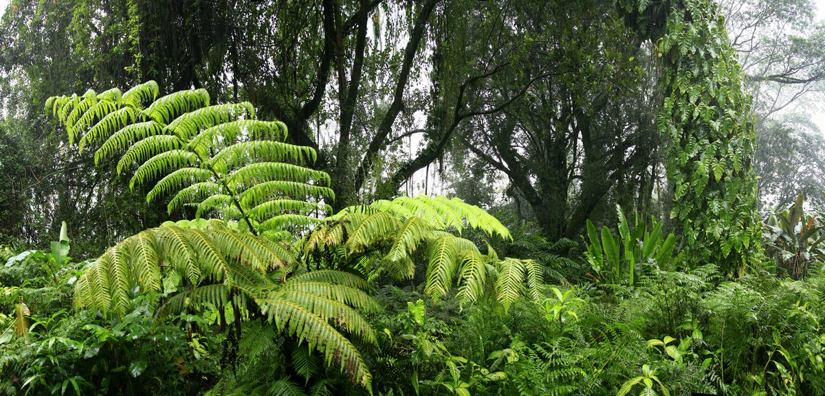 Hawaii, rainforest, ferns, trees, lush, giant, leaves, vines, photo