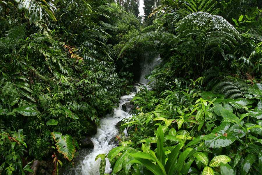 Hawaii, rainforest, ferns, trees, lush, giant, leaves, vines, stream, wet, rainy, forest, photo