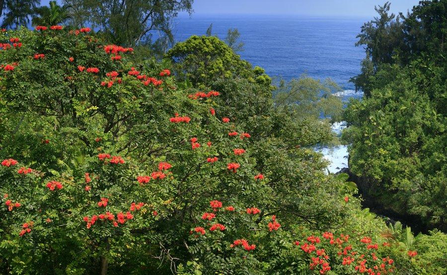flowering, trees, coast, Hawaii, photo