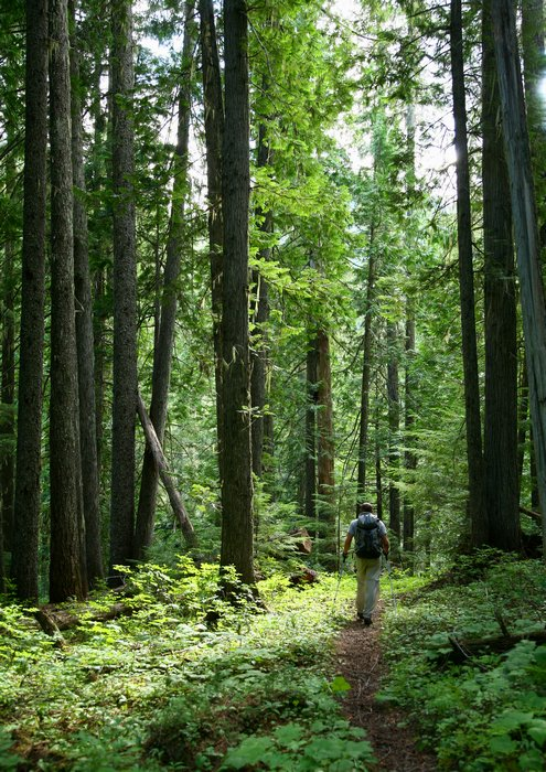 hiker, Coleville National Forest, Salmo-Priest Wilderness, eastern, Washington, forest, tall, pines, under, trail, hikin, photo