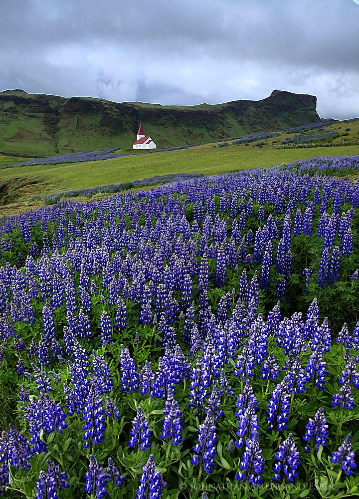 field,lupine,lupines,wildflowers,fields,lupine wildflowers,Vik y Myrdal,Vik,Vik church,Icelandic church,church,