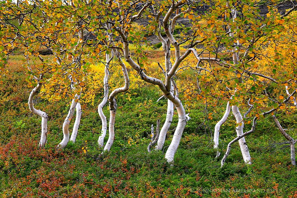 Icelandic,birches,autumn,Myvatn,yellow,fall,Iceland,September,birch,birch scrub, photo