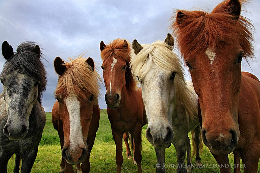 Iceland,horse,Icelandic horse,Icelandic horses,horses,five,friendly,, photo